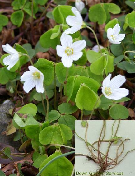 picture of WOOD SORREL