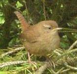 picture of a WREN click for more information
